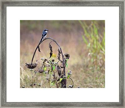 Pastoral Scene Bird On Sunflower Framed Print