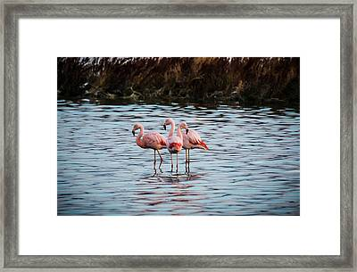 Patagonia Flamingoes Framed Print