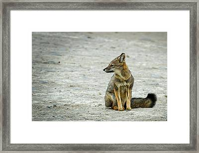 Patagonia Fox - Argentina Framed Print