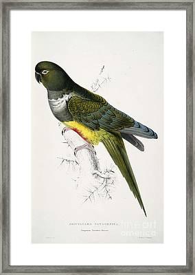 Patagonian Parrakeet-maccaw Framed Print