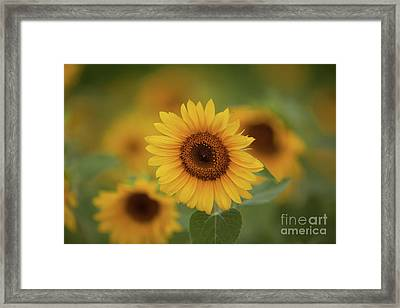 Patch Of Sunflowers Framed Print