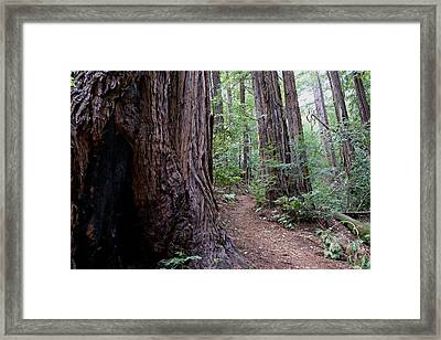 Pathway Through A Redwood Forest On Mt Tamalpais Framed Print