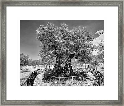 Patriarch Olive Tree Framed Print