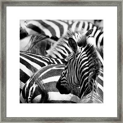 Pattern Of Zebras Framed Print