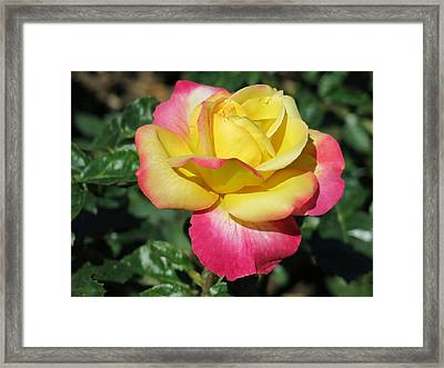 Peace And Love Rose Framed Print