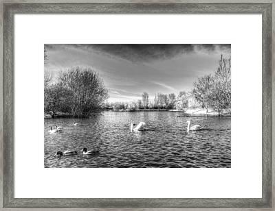 Peaceful Swan Lake Framed Print