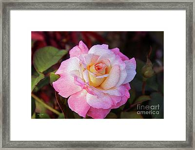 Peach And White Rose Framed Print