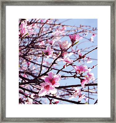 Peach Blossom Blowout Framed Print by DiDi Higginbotham