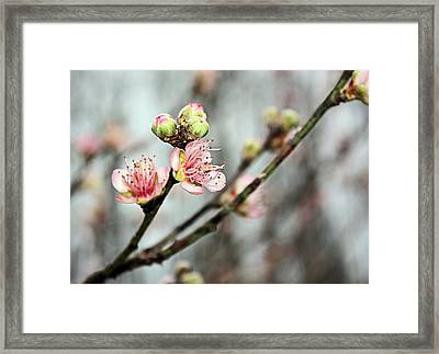 Framed Print featuring the photograph Peach Blossom by Kristin Elmquist