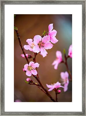 Peach Blossom Framed Print