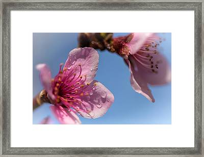 Peach Blossoms Framed Print by Jonathan Nguyen