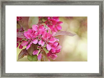 Peach Blossoms Framed Print by Margaret Goodwin