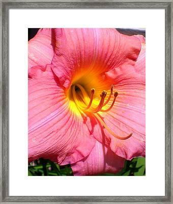 Peach Comotion Lily Framed Print by Cynthia Daniel