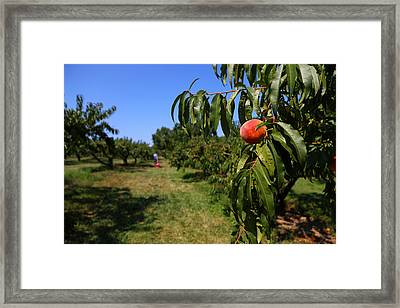 Peach Grove Framed Print by Karol Livote