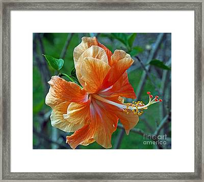 Peachy Hibiscus Framed Print by Larry Nieland