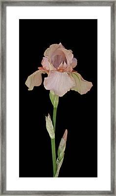 Peach Iris Framed Print by Michael Peychich