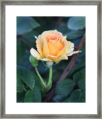 Peach Rose 3 Framed Print