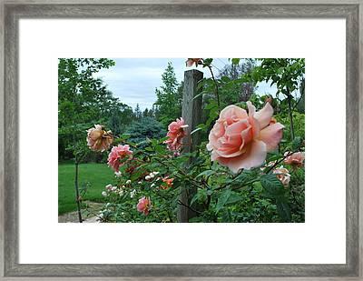 Peach Rose Framed Print by Linda Sramek
