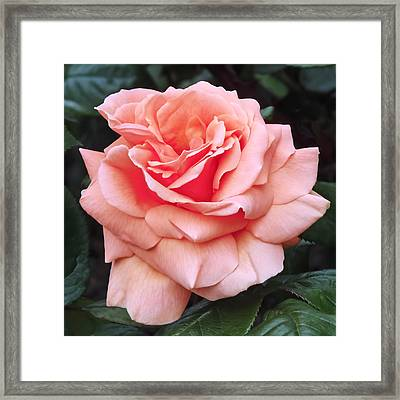 Peach Rose Framed Print by Rona Black