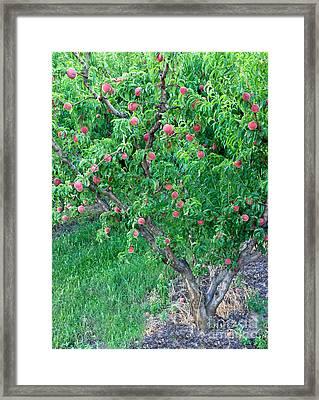 Peach Tree White Lady Framed Print by Inga Spence