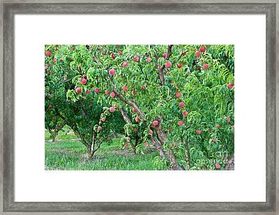 Peach Trees White Lady Framed Print by Inga Spence