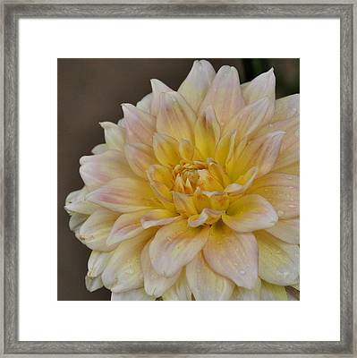 Peaches And Cream Dahlia Framed Print