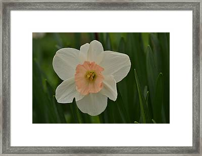 Peaches And Cream Framed Print by JD Grimes