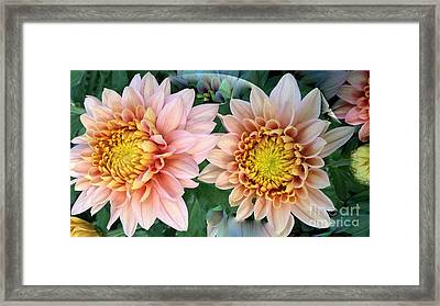 Peachy Chrysanthemums Framed Print by Jeannie Rhode