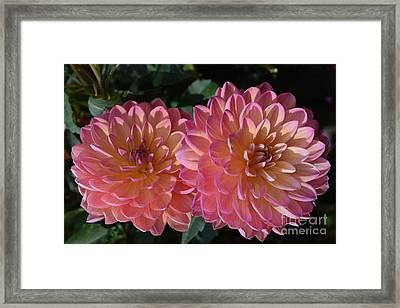 Peachy Dahlias Framed Print