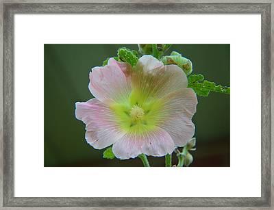 Peachy Hollyhock Framed Print by Tina M Wenger
