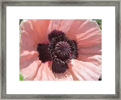 Peachy Poppy Framed Print by Tina M Wenger