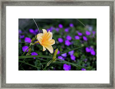 Peachy Purple Framed Print