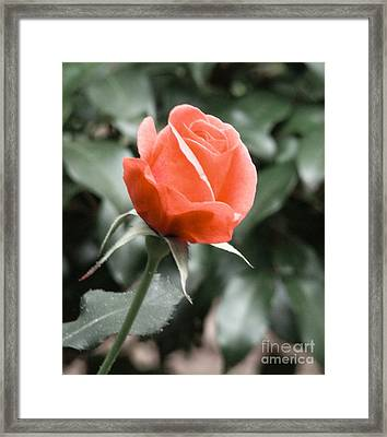 Peachy Rose Framed Print by Rand Herron