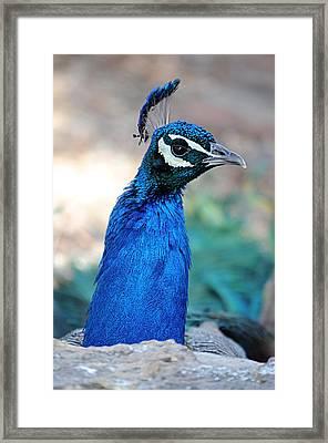 Peacock 1 Framed Print by Diana Douglass