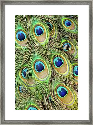 Living Peacock Abstract Framed Print