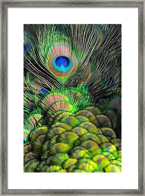 Peacock Brilliance Framed Print by Emilia Brasier