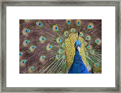 Peacock Display II Framed Print
