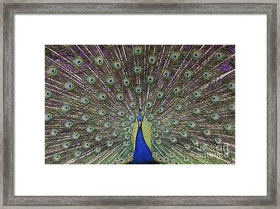 Peacock Display Framed Print by Tim Gainey