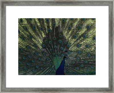 Peacock Eyes Framed Print by Michelle Miron-Rebbe