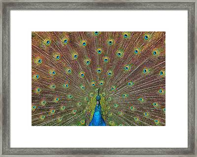 Framed Print featuring the photograph Peacock Fanfare by Diane Alexander