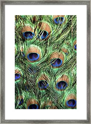 Peacock Feathers Framed Print by John Foxx