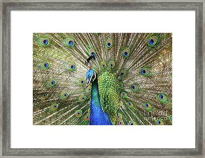 Framed Print featuring the photograph Peacock Indian Blue by Sharon Mau