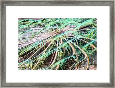 Peacock Framed Print by Jesse McKay