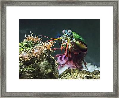 Peacock Mantis Shrimp Profile Framed Print