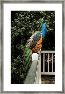 Peacock On A Fence Framed Print by Jean Noren