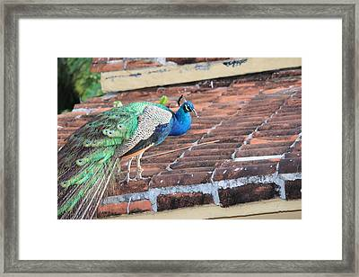 Peacock On Rooftop Framed Print