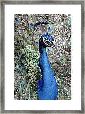 Peacock Portrait Framed Print by Bob Slitzan
