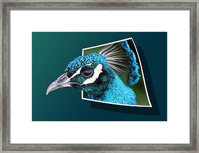 Peacock Framed Print by Shane Bechler