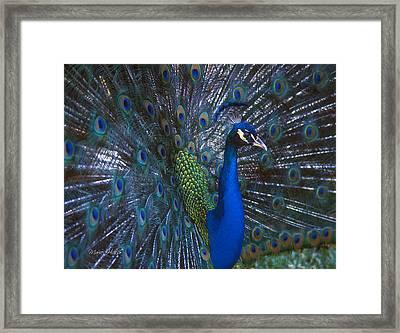 Framed Print featuring the photograph Peacock Splendor by Marie Hicks