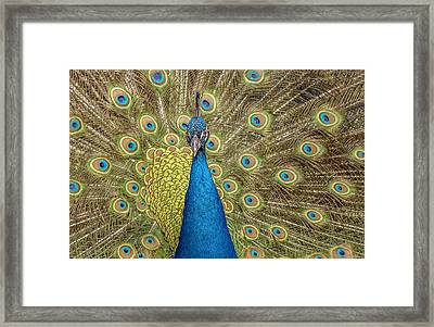 Peacock Splendor Framed Print